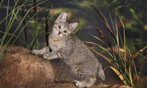 Купить котенка пиксибоб