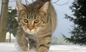 Пиксибоб кошки с диким  взглядом. Отзывы владельцев